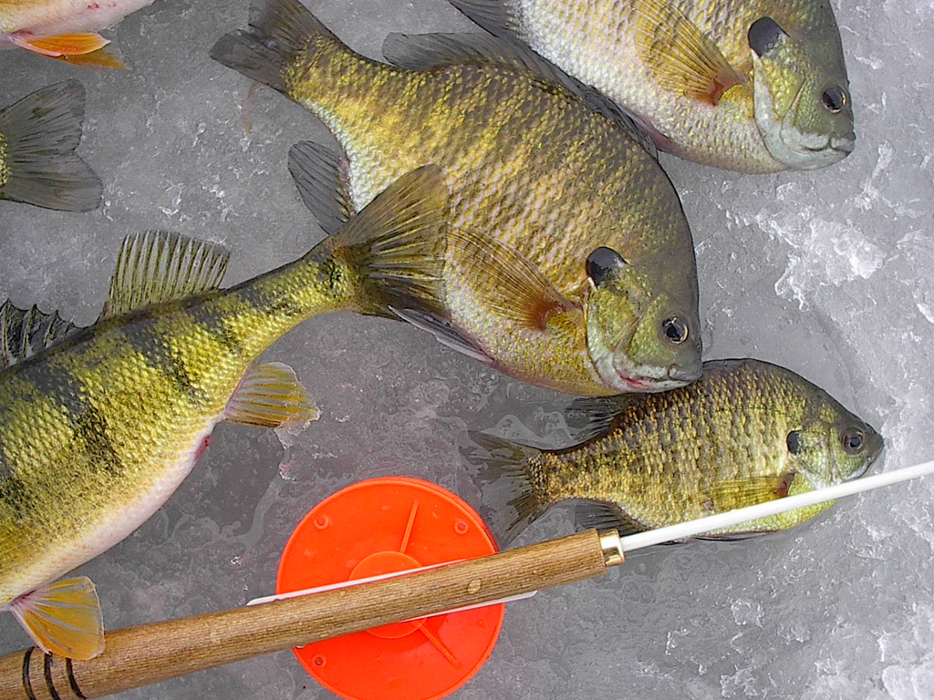 The run is on january thaw for Ice fishing for perch