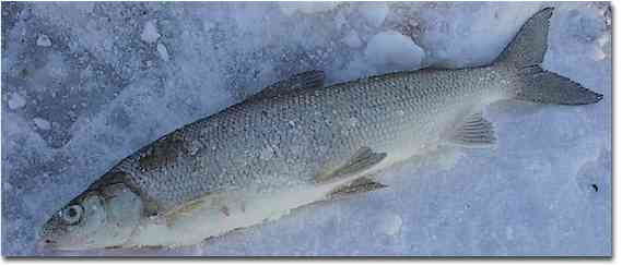whitefish the mainstay of winter anglers white fish 569x244
